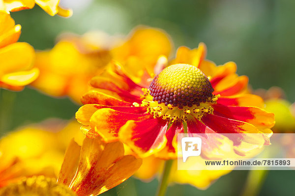 Sneezeweed (Helenium)  flowers  yellow and orange