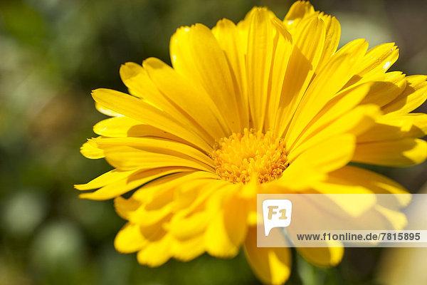 Ringelblume (Calendula officinalis)  gelbe Blüte