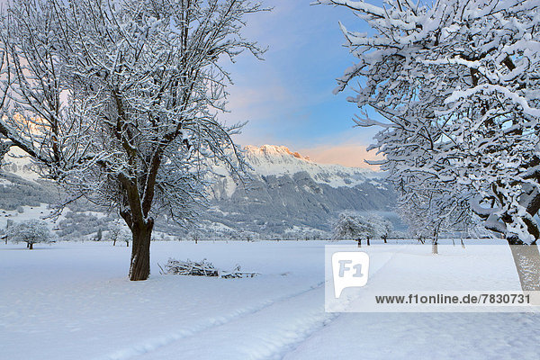 Haag  Switzerland  Europe  canton  St. Gallen  Rhine Valley  trees  snow  winter  way  morning light  mountains  Alpstein