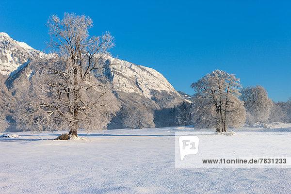 Europa Berg Winter Baum Morgendämmerung Rheintal Schnee Schweiz Morgenlicht