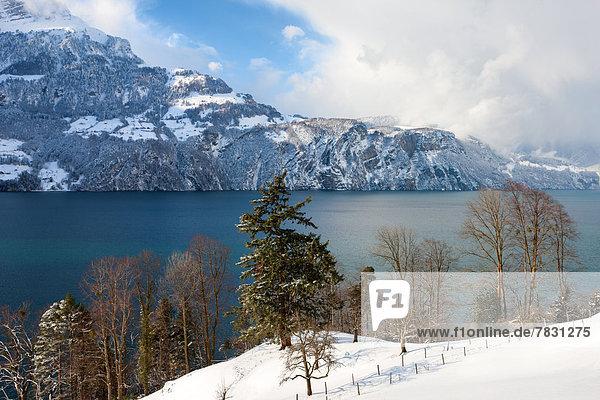 Lake Uri  Switzerland  Europe  canton  Uri  lake  Vierwaldstättersee  mountain  trees  snow  winter