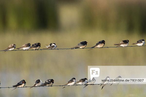 Rauchschwalbe Hirundo rustica Europa Vogel Metalldraht Schwalbe