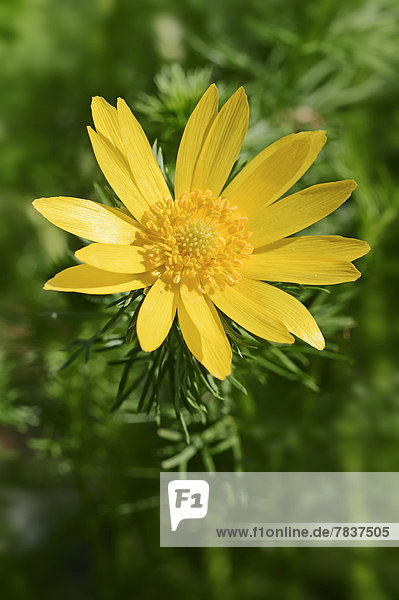 Frühlings-Adonisröschen  Frühlingsadonisröschen (Adonis vernalis)  Blüte