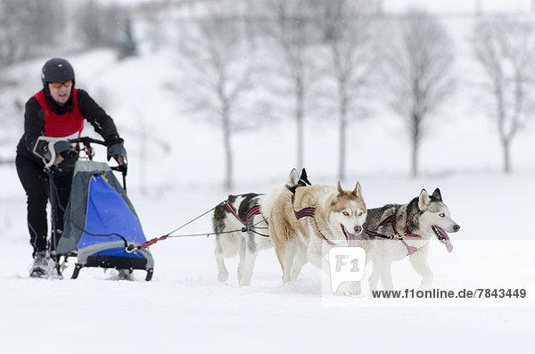 Musher  Hundeschlittenführer  laufend  beim Führen eines Hundeschlittens  Schlittenhunde-Team