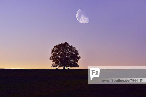 Solitärbaum  Buche (Fagus sp.)  mit Mond