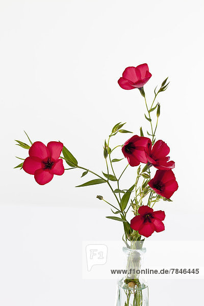 Red flax flower against white background close up