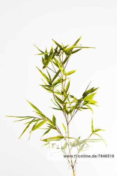 Zweig aus Bambus  Nahaufnahme