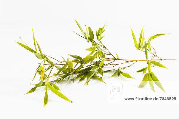 Zweig aus Bambus auf weißem Grund  Nahaufnahme