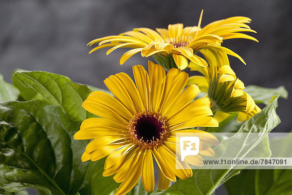 Yellow gerbera flowers  close up