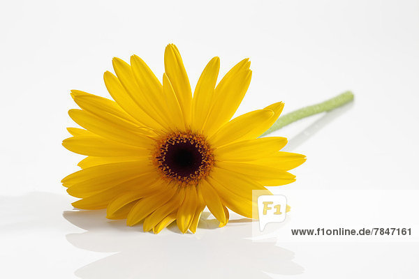 Yellow gerbera flower on white background  close up
