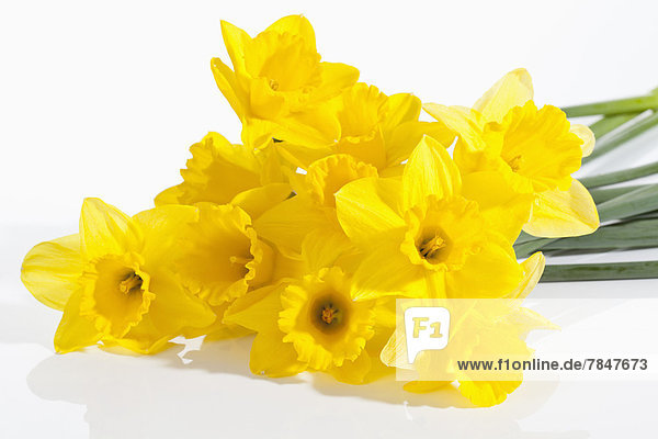 Yellow narcissus flowers on white background  close up