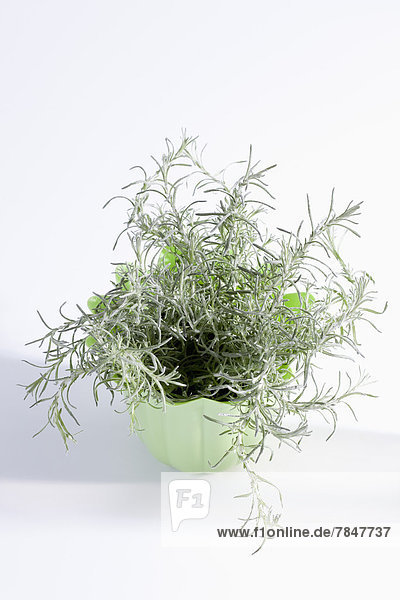 Potted plant of Italian Straw Flower on white background  close up