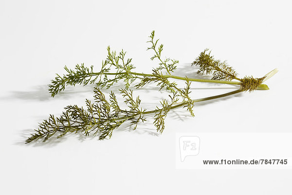 Sweet fennel on white background  close up