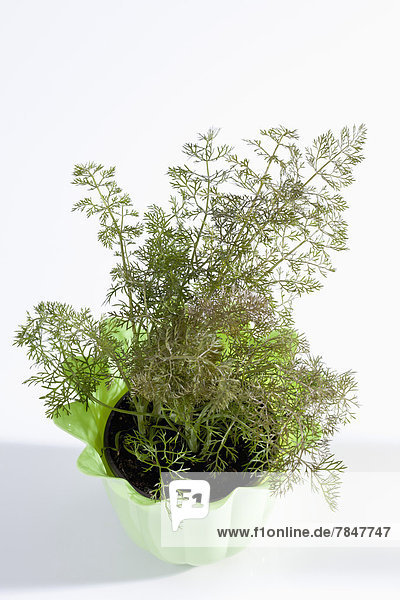Potted plant of sweet fennel on white background  close up