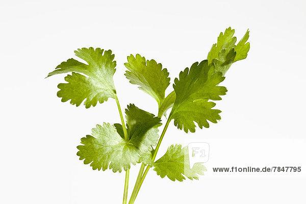 Coriander herb on white background  close up