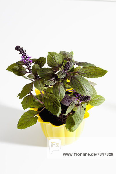 Potted plant of basil herb on white background  close up