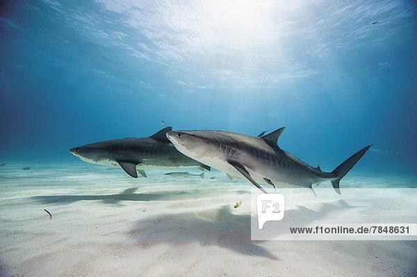 Bahamas  Tigerhaie in der Bahama Bank