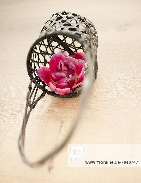 Rosa Tulpenblüte im Korb  Nahaufnahme