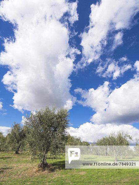 Italien  Olivenbäume