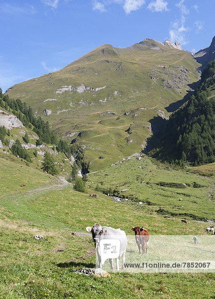 Italien  Blick auf die Pfunderer Berge mit Kühen auf der Wiese
