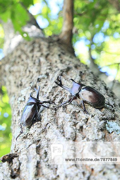 Baum  Eiche  Käfer
