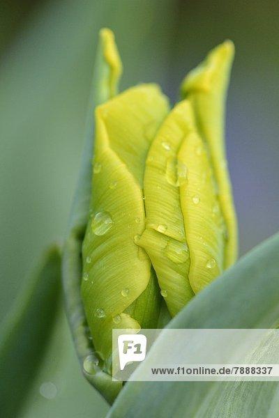 Knospe einer Tulpe