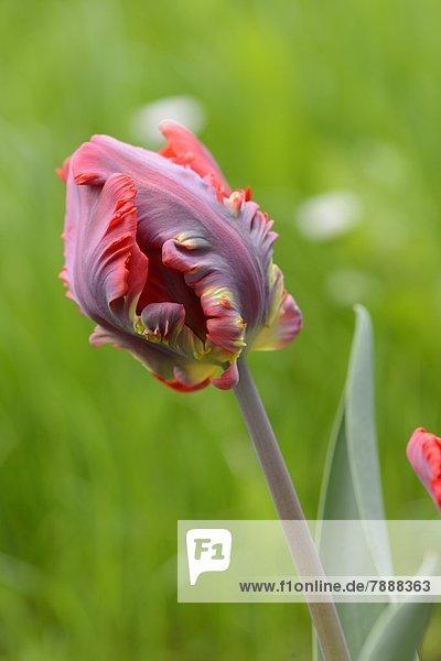 Blüte einer Tulpe
