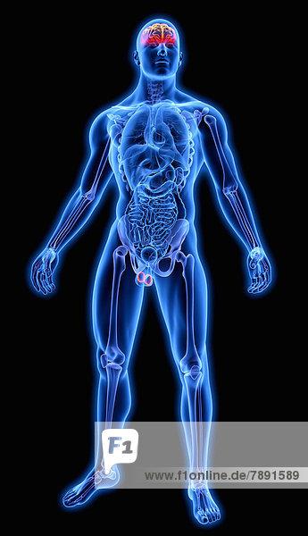 Beleuchtetes Gehirn in blauem anatomischen Modell
