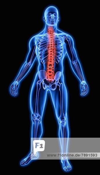 Beleuchtete Wirbelsäule in blauem anatomischen Modell