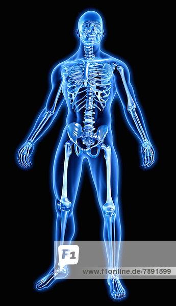Knochen in blauem anatomischen Modell