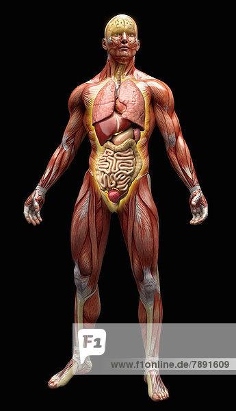 Anatomiemodell mit Muskeln  Sehnen und Organen