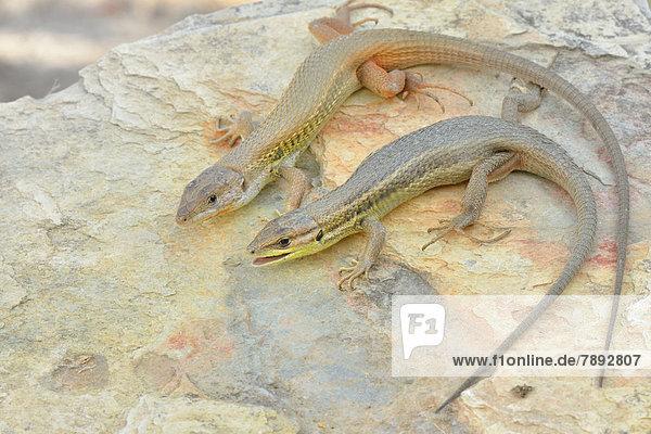Paar des Algerischen Sandläufers (Psammodromus algirus) beim Sonnenbad auf Felsen