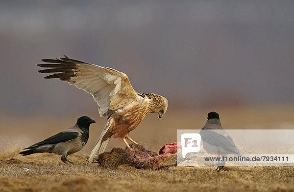 Rohrweihe (Circus aeruginosus)  Männchen  und Nebelkrähen (Corvus corone cornix)  mit dem Kadaver eines Rehs