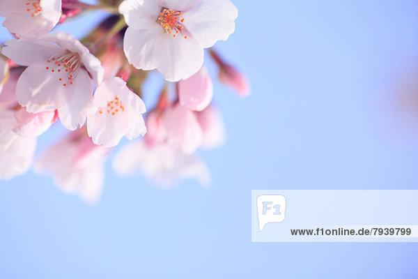 Himmel  Kirsche  blühen