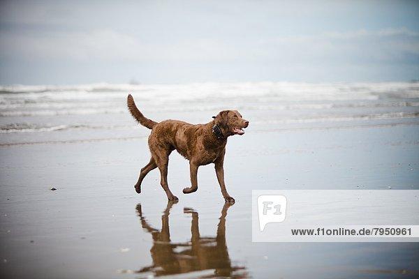 gehen  Strand  Hund  Sand