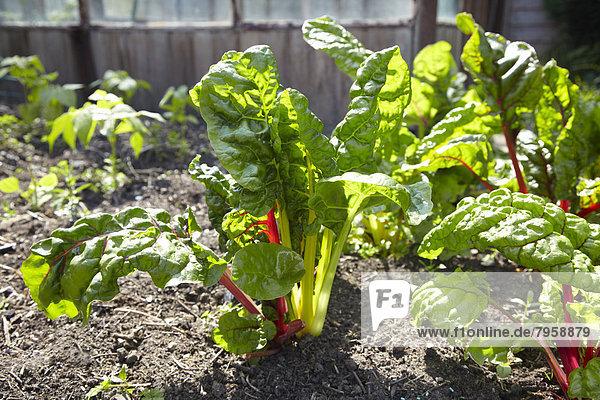 Gemüse , Wachstum , Regenbogen