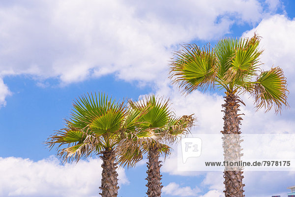 USA  Florida  Blick auf Palmen