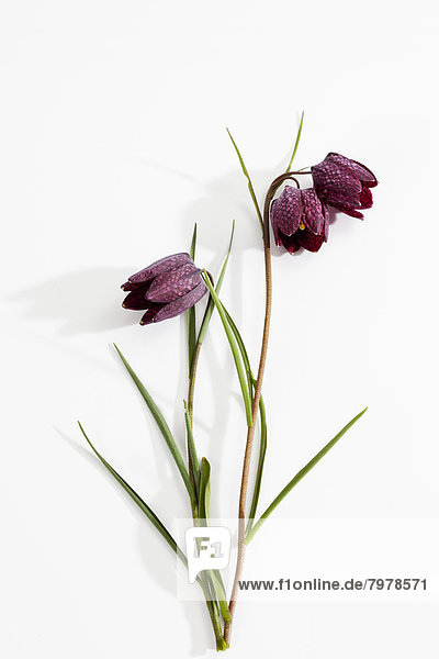 Fritillaria meleagris flowers on white background  close up