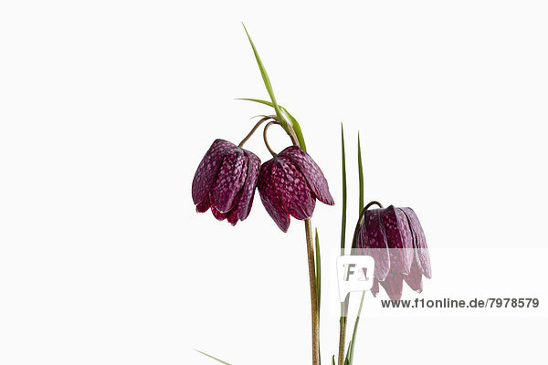 Fritillaria meleagris flowers against white background  close up