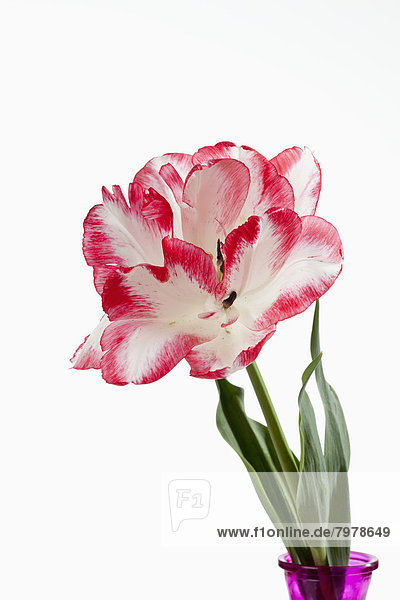 Red and white tulip flower against white background  close up