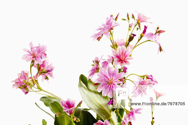 Lewisia flowers against white background  close up