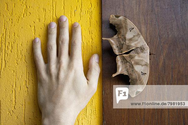 Brasilien  Schmetterling auf Holzwand neben der menschlichen Hand