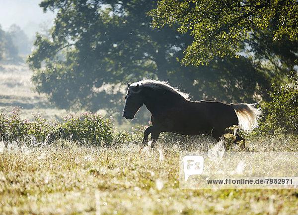 Deutschland  Baden Württemberg  Schwarzwaldpferd auf Rasen laufend