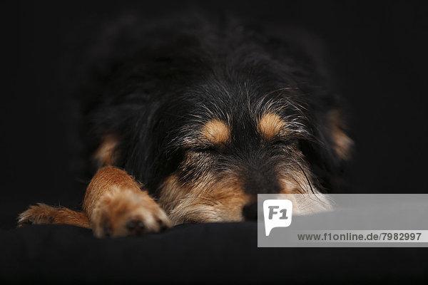 Deutschland  Baden Württemberg  Dackelhund schlafend auf Sofa  Nahaufnahme