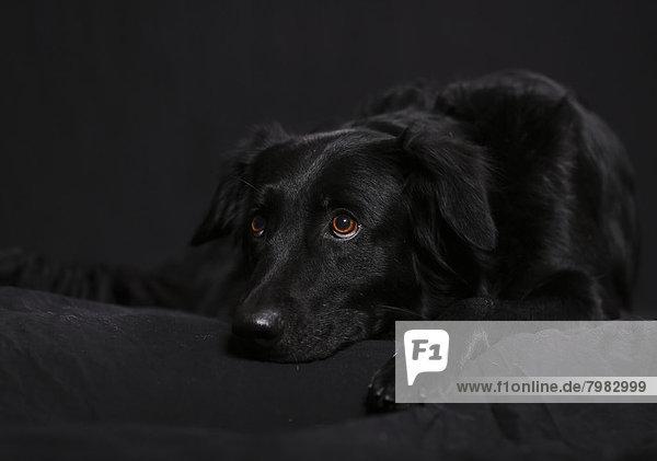 Deutschland  Baden Württemberg  Mischlingshund auf Sofa liegend  Nahaufnahme