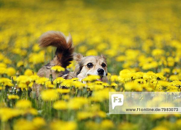 Deutschland  Baden Württemberg  Mischlingshund auf der Weide