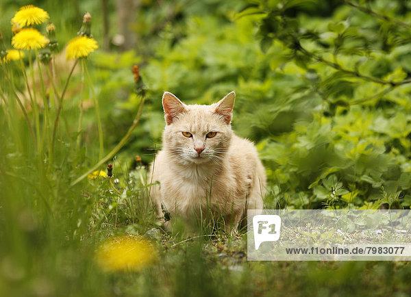 Deutschland  Baden Württemberg  Katze sitzend auf der Wiese