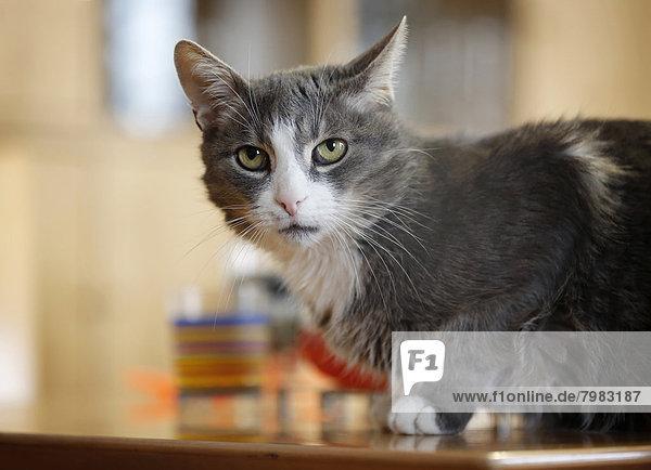 Deutschland  Baden Württemberg  Graue Katze auf Tisch sitzend