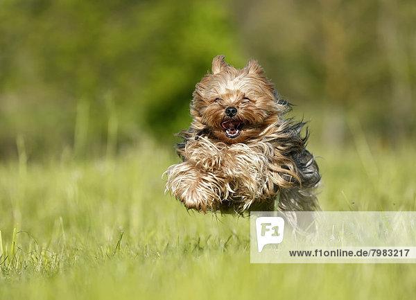 Deutschland  Baden Württemberg  Yorkshire Terrier auf Rasen laufend