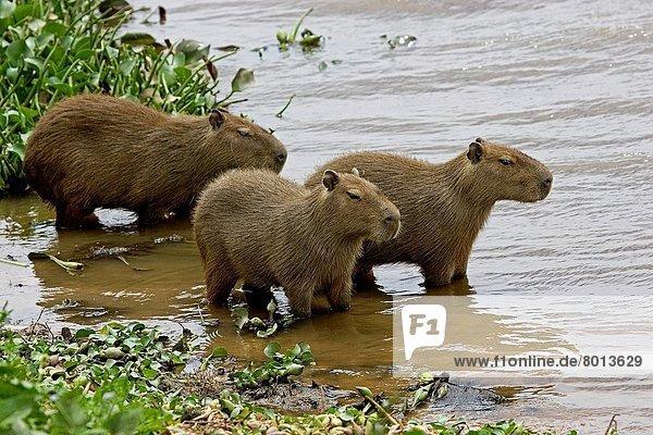 Capybara  Hydrochoerus hydrochoerus  Wasserschwein  Capybara